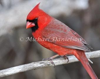 Photograph Cardinal Print Red