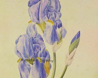 Iris Pallida Pale Iris  Flowers Redoute Vintage Lithograph Botanical Poster Print To Frame 29