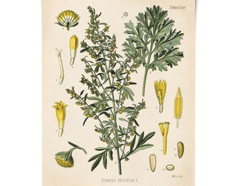 Wormwood Artemisia Absinthium Botanical Print - Absinthe Vintage Reproduction Poster - Kohler's Medicinal Plant Guide antique charts -CP291