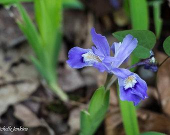 Crested Dwarf Iris Nature Print, Flower, Purple, Bloom, Spring, Wildflower