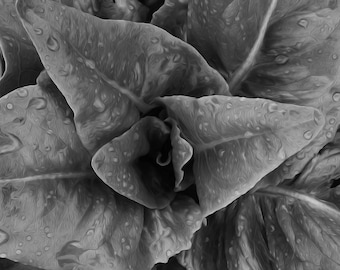 Photograph of lettuce with waterdroplets on Kansas City farm-B&W colored