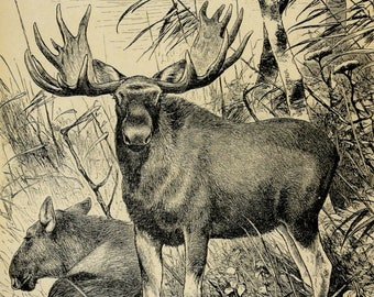 1895 Antique print of a MOOSE. ELK. Deer. Alces alces. 123 years old nice lithograph