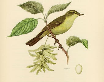 Vintage lithograph of the greenish warbler from 1953