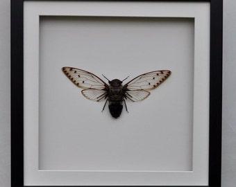 Six O'clock Cicada (Pomponia merula) .  Part of my framed CICADA collection