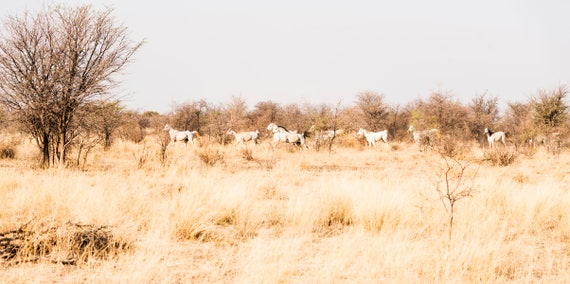 KALAHARI ARABS. Galloping Horses, South Africa, Equine Print, Animal Print, White Horses, Photographic Print