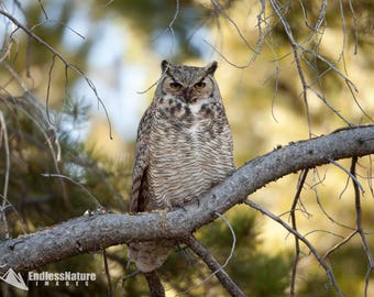 Great Horned Owl 7602 ( Bubo virgininaus ) Great Horned Owl Perched in a pine tree. Owl Images, Great Horned Owl Photography, Owl Fine Print