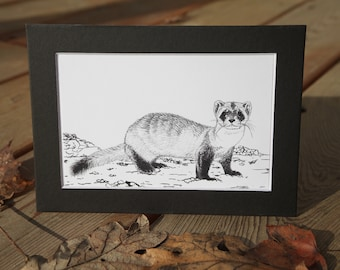 PRINT: Black-footed Ferret (Mustela nigripes) - 4x6 art print - matted for 5x7 frame