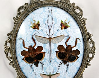 Large Insect Display Antique Frame