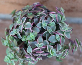 "Small Succulent Plant - ""Calico Kitty' crassula marginalis rubra"
