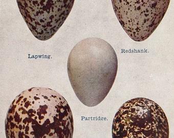 Original-1942-Vintage-Book Plate-Natural History-British Birds-Birds Eggs-Ornithology-Matted-Home decor