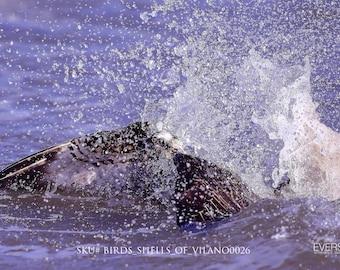 Splash_Down. Nature photography print. SKU#BIRDS_SHELLS_OF_VILANO0026