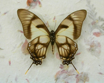 Delicate Tailed Butterfly - Eurytides dolicaon - Real Framed Butterfly