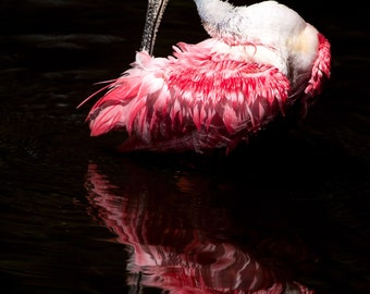 Roseate Spoonbill Photo; Canvas or Metal Print