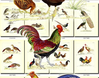 BIRDS-190 Collection of 225 vintage pictures groups collages nature figure clipart graphics digital download printable images 300 dpi animal