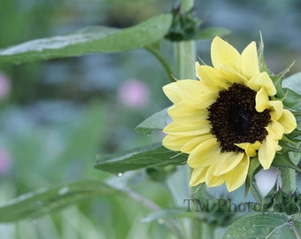 Sunflower - Flower - Nature - Yellow - Kansas -  Kansas State Flower - Fine Art Photography