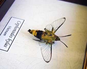 Real  Bumblebee Moth  Cephonodes Hylas In Quality Shadowbox