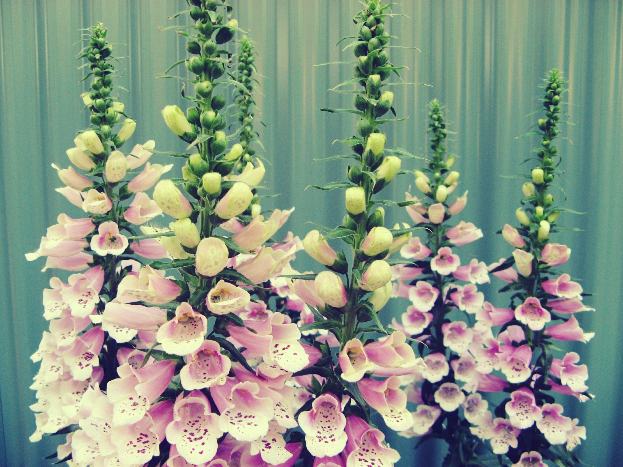 Flower Photography Pink Foxgloves Flower Photo Garden