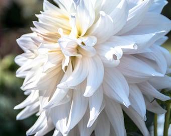White Dahlia Photography
