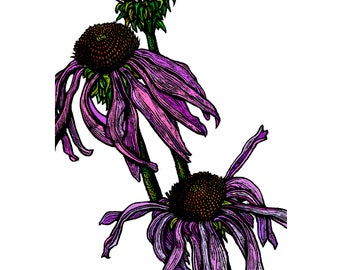Wall Art, Giclee Signed Print - A5 - Echinacea (Cone Flower) on White