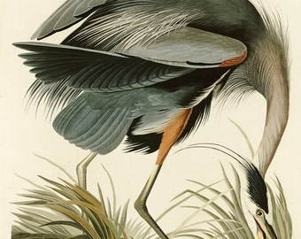 Audubon Great Blue Heron no.211 Large Reproduction Bird Print