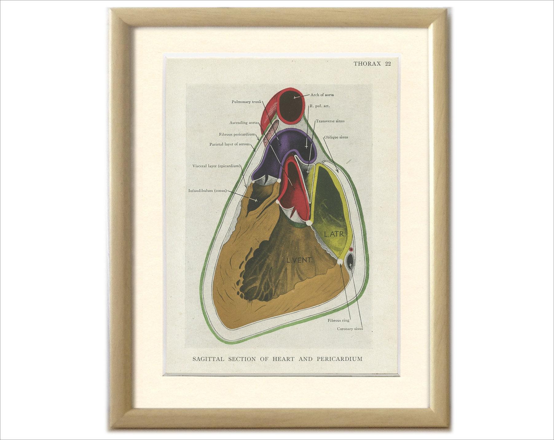 Sagittale Abschnitt des Perikards Thorax Herz Jahrgang