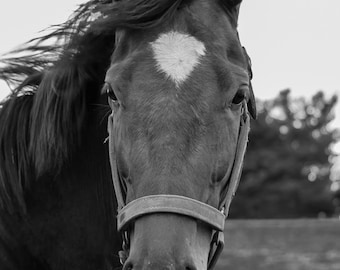 horse photography black and white horse photo 8x10 11x14 16x20