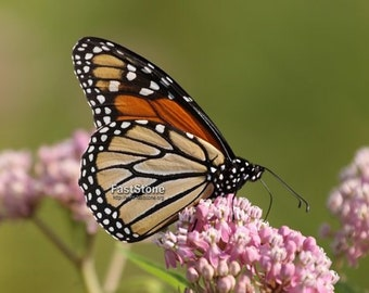 Monarch Butterfly, butterfly, insects, photo, nature, wall art, home decor, nature photography, free shipping, butterfly photography,