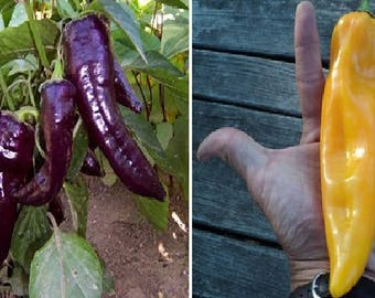 Sweet pepper Marconi GOLDEN (15 seeds) or PURPLE (10 seeds)