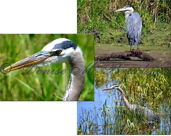Great Blue Heron Print Set - Blue Heron Photo Set - Bird Photography - Great Blue Heron Art - Heron Decor - Bird Lover Gifts