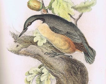 antique print Nuthatch 1897