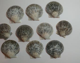 Genuine Scallop Shells - From Crystal River, FLorida - Freshly Caught by me - Shells - Seashells - Grey Seashells - 10 Natural Shells  #109