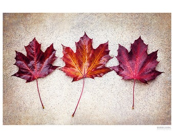 Nature Photography PRINT, Maple Leaves, Wall Art