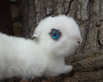 Taxidermy Egyptian Black & White Baby Bunny Rabbit. Daisy.