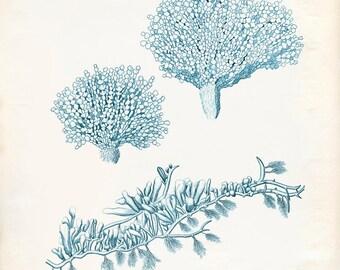 Vintage Sea Fan Seaweed Coral Print 8x10 P238