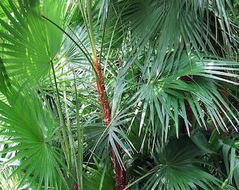 Acoelorrhaphe wrightii Everglade Palm, 10 seeds