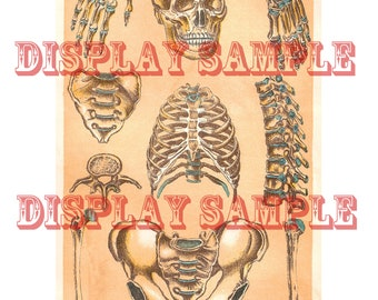 Edwardian Anatomical Print - Human Skeleton - A4 Digital Download