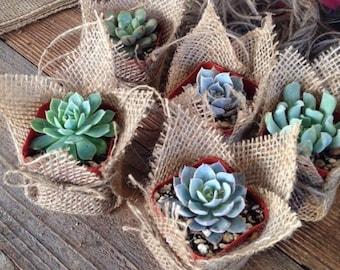 """Succulent Favors Assorted Collection. 8 Premium Succulents in 2"""" pots Wrapped in Burlap - La Fleur Succulente"""