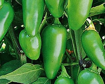 Early Jalapeno Hot Pepper Heirloom Garden Seed Non-GMO 30+ Seeds Naturally Grown Open Pollinated Gardening