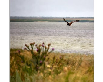 Harrier over the field print, Predator in air print, Digital download, Over Sea print, in flight poster, photo-hunting, bird of prey print
