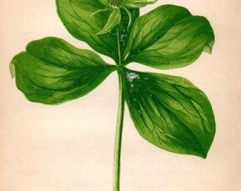 Original 1860 Victorian Flower Plant Print Botanical Chromolithograph - Herb-Paris