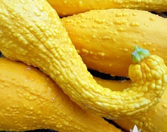 Early Golden Crookneck Summer Squash Heirloom Seeds - Non-GMO, Open Pollinated, Untreated