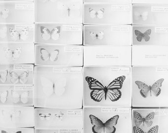 Lepidopterology, Square Print, Black and White Photography, Butterfly Photograph, Natural History, Still Life Photograph, Nature Photography