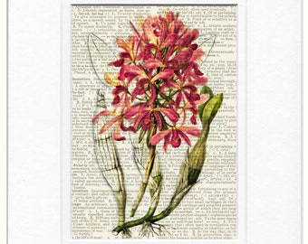 orchid, pink dictionary page print