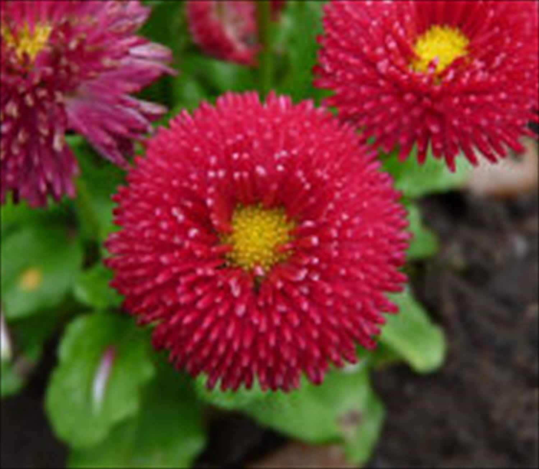 English Daisy Bellis Perennia Super Enorma Red 100 Seeds