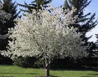 1 Spring Snow crabapple-Malus 'Spring Snow' 3 to 4 ft-29.99 each