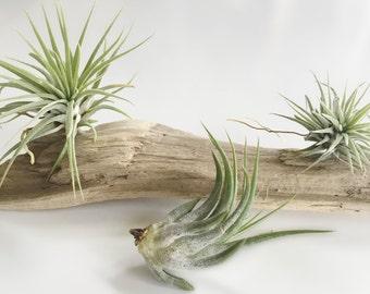 3 Tillandsia Ionantha's - Air Plant - Airplant - Terrarium - Driftwood - Air Plants - Beach - Epiphyte - Plant - Modern - Home - Beach