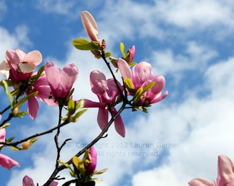Japanese Magnolia - Flower Bloom Photography Spring Pink Blue Sky Clouds Home Decor - 5x7 Photograph