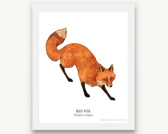 Red Fox Print - Unmatted