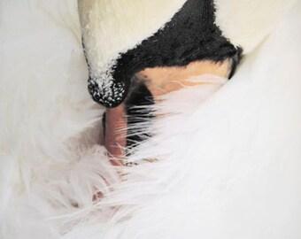 October Swan - Wall Decor - Nursery Art -  Swan Photograph - Animal Photograph - Bird - Sleepy Swan