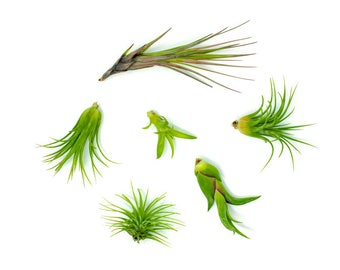 """Air Plant Variety Pack - Assorted Live Tillandsia House Plants (2"""" to 5 """" each) - For Terrarium Containers / Planters / Wall Hanger / Holder"""